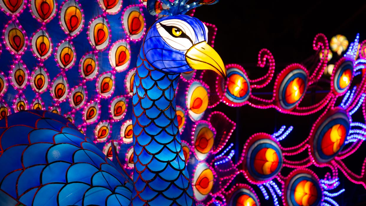 Peacock at the NYC Winter Lantern Festival